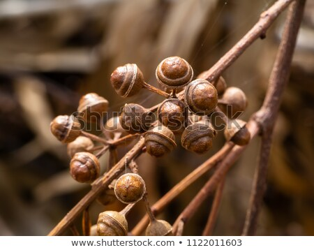 Stock photo: Eucalyptus seeds with plant material