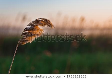 Stock photo: Reeds and lake