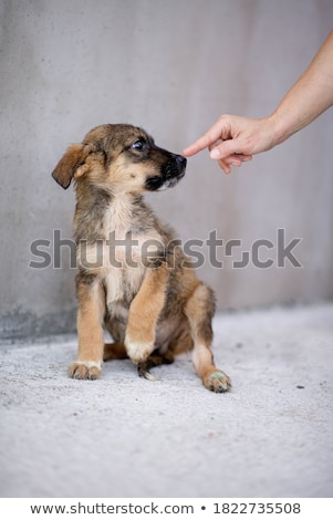 brown mixed breed puppy Stock photo © eriklam