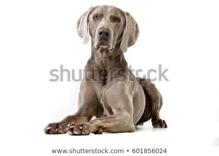 Dog lying on white background Stock photo © IS2