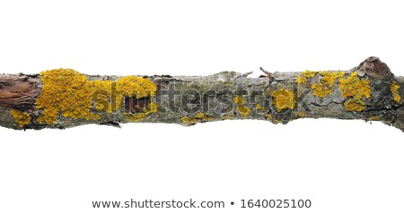 Yellow lichen on tree twigs Stock photo © backyardproductions