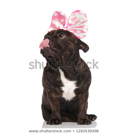curious french bulldog with pink ribbon on head licking nose Stock photo © feedough