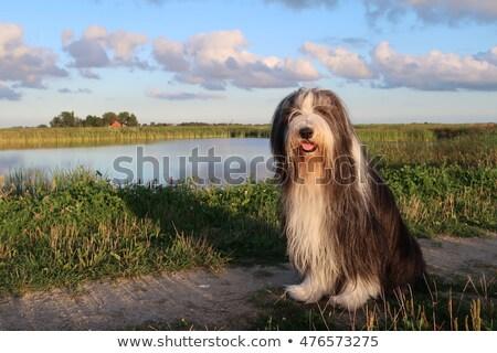 Foto stock: Barbudo · cão · animal · mamífero