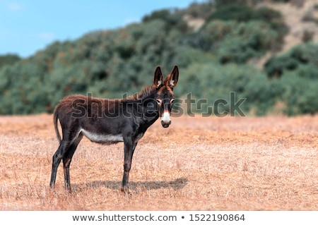 donkeys in field outdoor in summer looking Stock photo © juniart