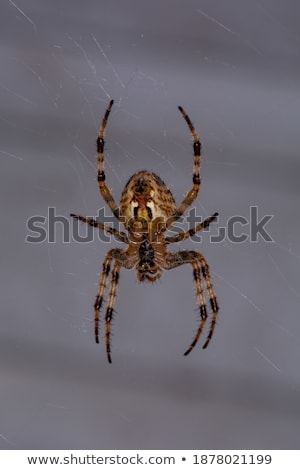 an orb weaver spider waiting in its web stock photo © rhamm