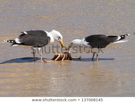 two great black backed gulls eating a crab stock photo © latent