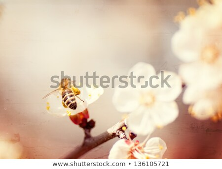 textured old paper background, bee collects honey on a flower Stock photo © Zhukow