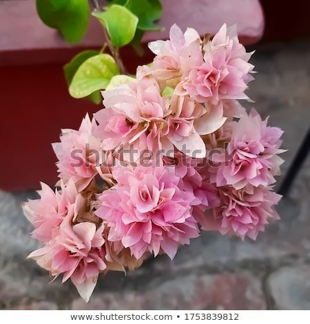 Foto stock: Beautiful Indian And Bougainvillea Flowers