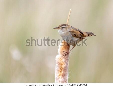 Marsh Wren Stock photo © devon
