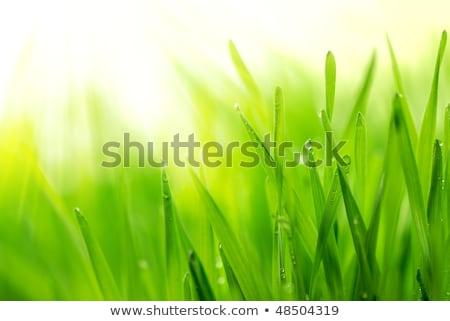 fresh green grass shallow dof stock photo © nejron