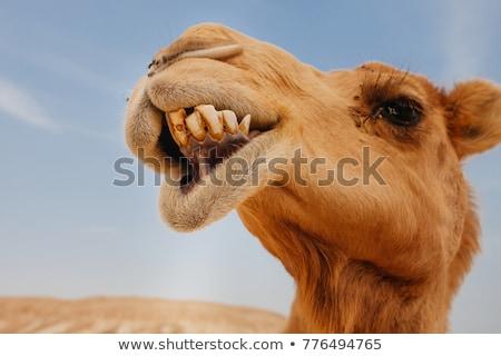 Funny camel face Stock photo © phakimata
