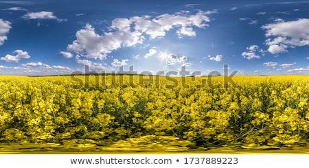 Rapseed Stock photo © yelenayemchuk