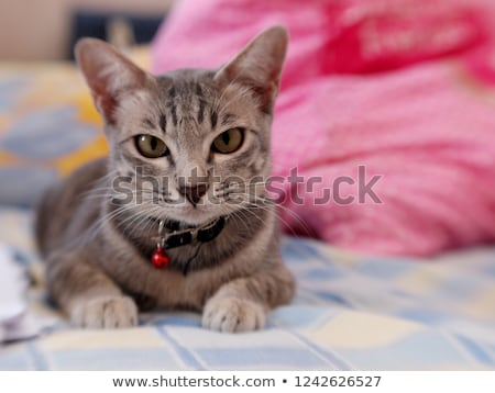 tabby kitten Stock photo © cynoclub