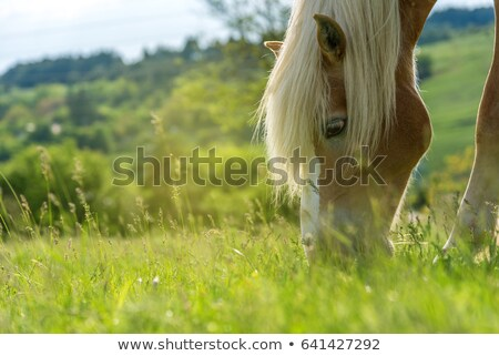 Stock photo: Horses grazing on a field