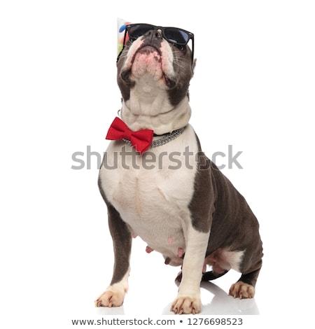 Stock photo: elegant birthday american bully with sunglasses looks up