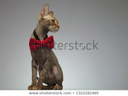 Cute little peterbald cat wearing a bow - tie Stock photo © feedough