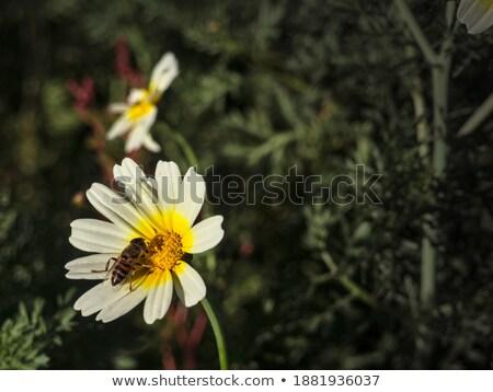 wild · bee · gele · bloemen · weide · natuur · tuin - stockfoto © nemalo