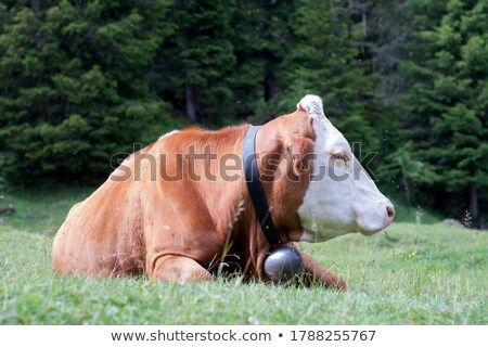 brown cow in austrianitalian alps stock photo © lichtmeister