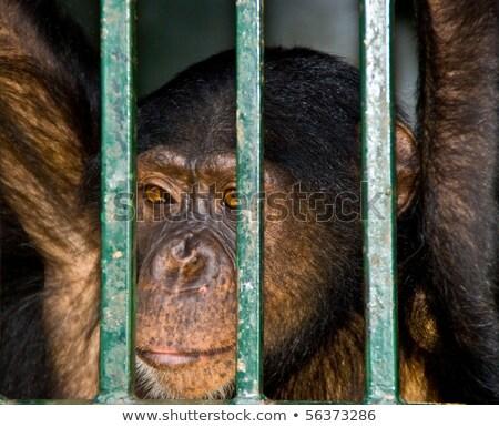 Macaco olhando barras cara retrato Foto stock © galitskaya
