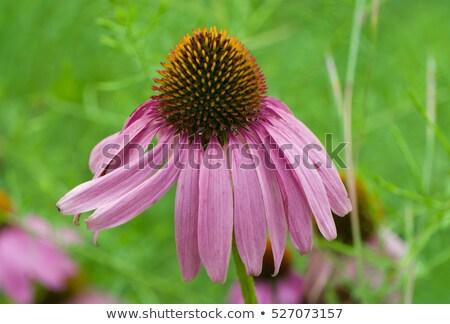 Single echinacea purpurea flower fading in the garden  Stock photo © haraldmuc
