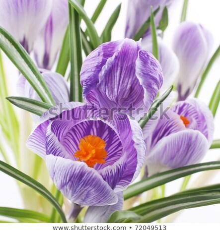 Closeup of purple crocus in the spring Stock photo © phila54