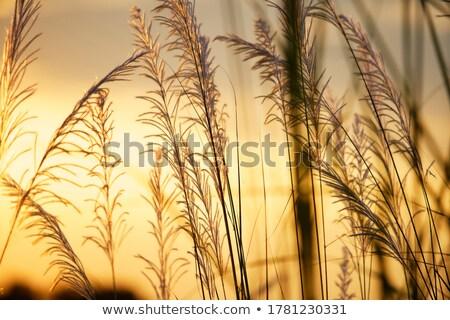 reed grass under blue sky Stock photo © meinzahn