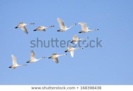 łabędź formacja 12 pływające niebo niebieski Zdjęcia stock © kimmit
