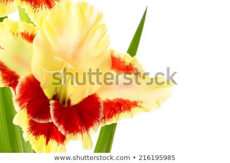 bright fresh yellow and red gladiolus isolated horizontal stock photo © taiga