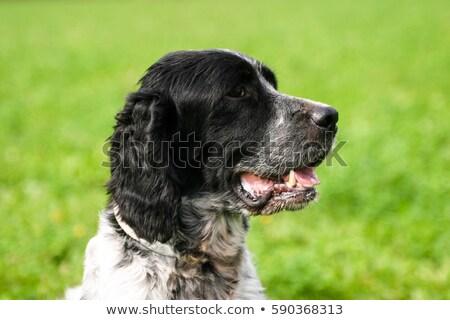 English Setter  on a green grass lawn Stock photo © CaptureLight