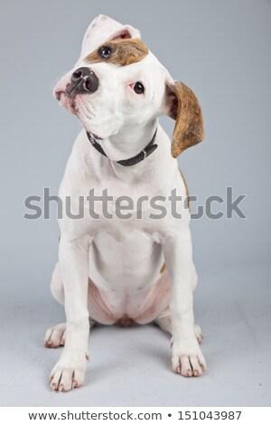 Bulldog portret grijs studio hond schoonheid Stockfoto © vauvau