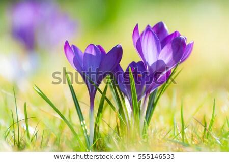 Açafrão grama flores crescente primavera flor Foto stock © franky242