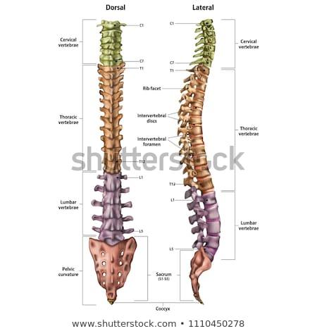 Humanismo coluna descrição coluna ossos médico Foto stock © Tefi