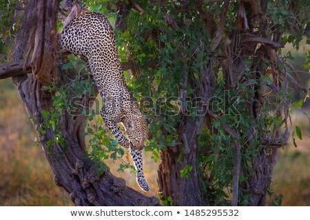 leopardo · para · baixo · árvore · parque · sul · África - foto stock © simoneeman