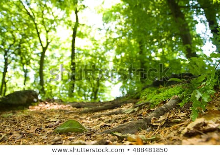 Deciduous forest detail Stock photo © stevanovicigor