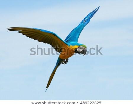 mavi · sarı · Namibya · Afrika · kuş · hayvan - stok fotoğraf © boggy