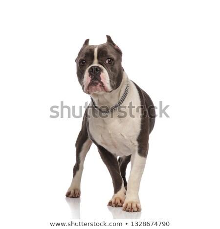 cute american bully wearing chain collar walking Stock photo © feedough