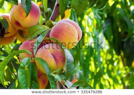 Természetes gyümölcs őszibarackok barack fa ágak Stock fotó © masay256
