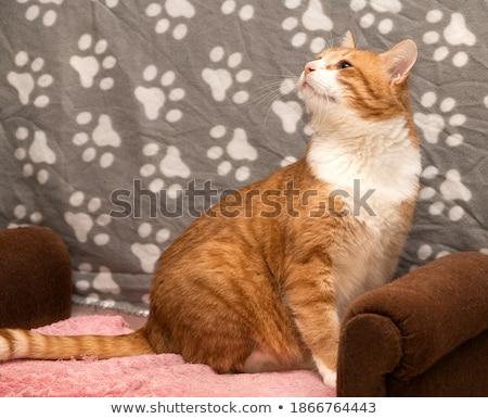 Bonitinho gengibre gatinho olhos Foto stock © ilona75