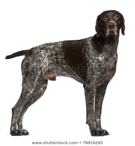 Studio shot of an adorable German pointer Stock photo © vauvau