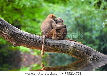 monkeys in love Stock photo © adrenalina