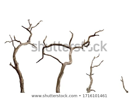 lonely dry tree stock photo © simply