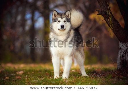 Alaszkai portré fekete fehér állat stúdió Stock fotó © eriklam