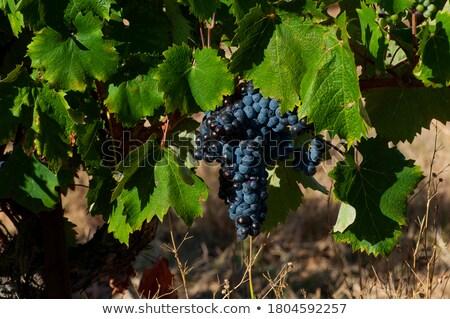 white grape, Languedoc-Roussillon, France Stock photo © phbcz
