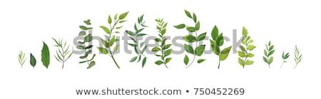 Set foglia verde isolato bianco primo piano studio Foto d'archivio © boroda