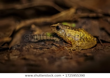 Golden Tree Frog on sand Stock photo © zhekos