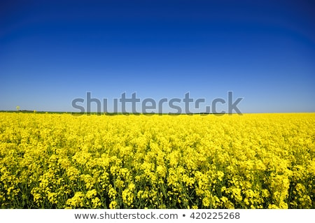 rape field canola crops stock photo © yoshiyayo