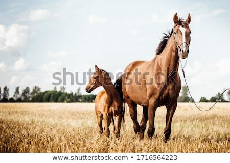 Anya ló csikó fehér barna legelő Stock fotó © Elenarts