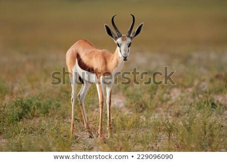 Male Springbuck Antelope Stock photo © fouroaks