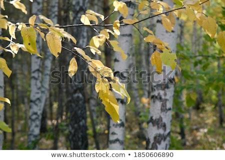 Huş ağacı ağaç sonbahar parlak renkler seyahat Stok fotoğraf © dirkr