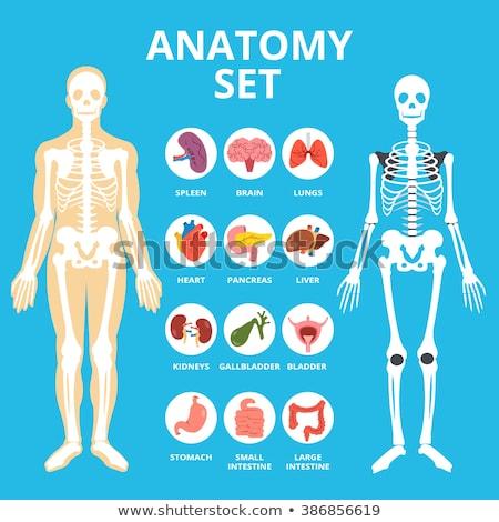 small human skeleton  Stock photo © jonnysek
